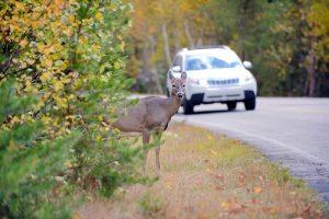 animal sauvage en bord de route