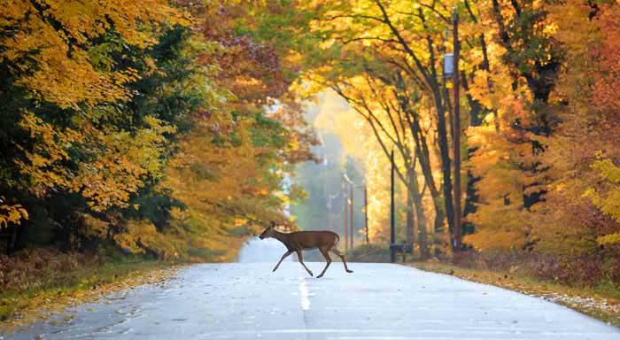 Animal sauvage sur route automne