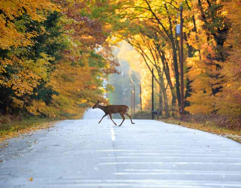 Animazl sur route automne