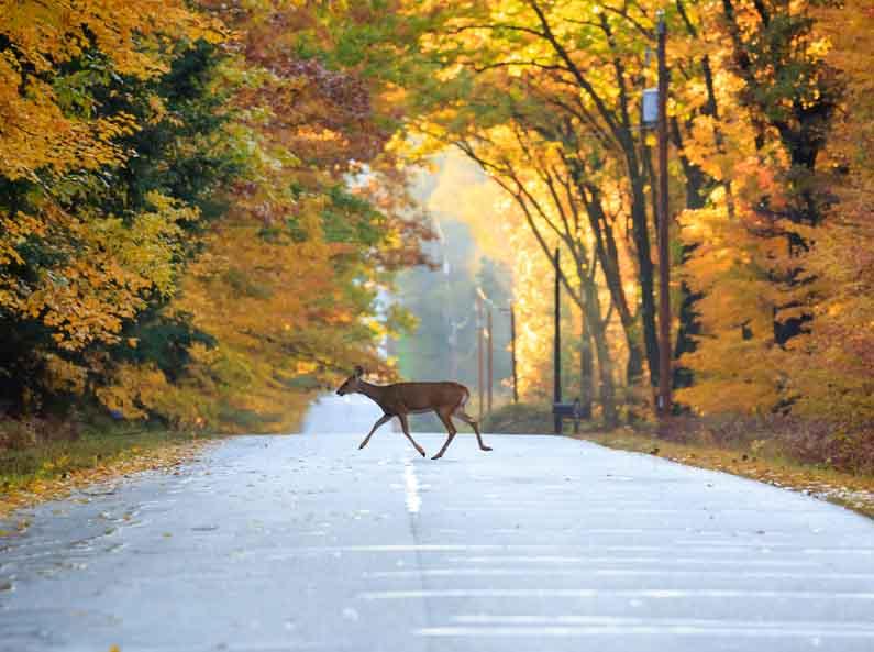 Animal sur route automne